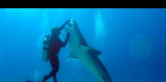 Love Shark Diving? Visit Tiger Beach Bahamas
