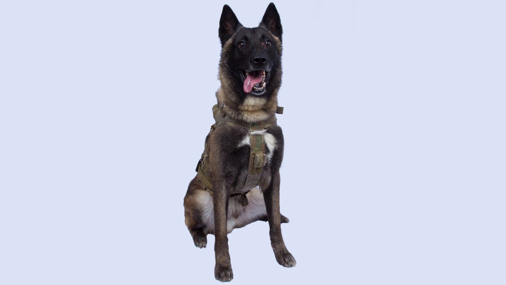 Our Canine Hero who helped capture al-Baghdadi