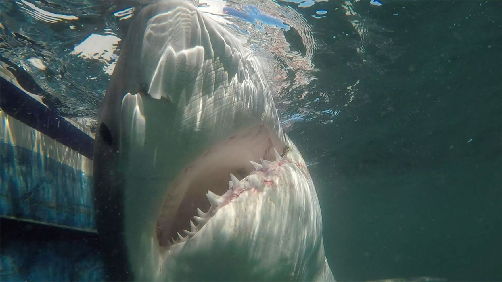 Shark named Grace for hit and run victim Grace Sulak