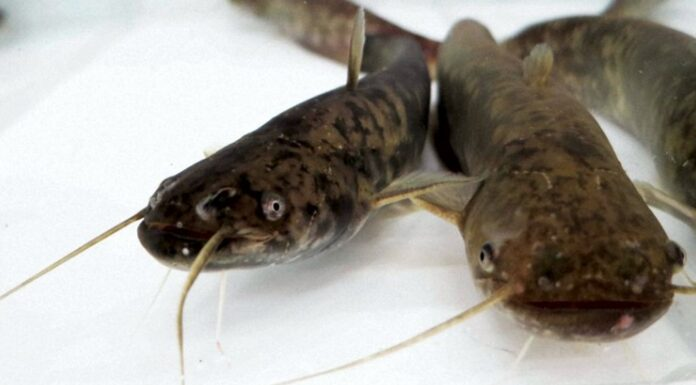 Catfish kept at Kindai University Aquaculture Research Institute's Shingu Station