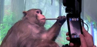 Monkey Cyborgs: Musk's wired-up primate